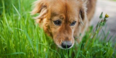why do dogs eat grass featured image
